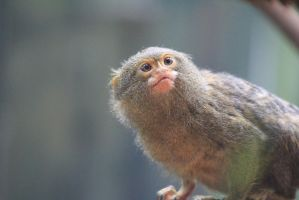Pygmy Marmoset by Nuuhku87