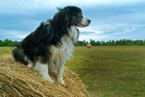 Proud Border Collie by MichelLalonde