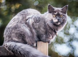Our Maine Coon by TLO-Photography