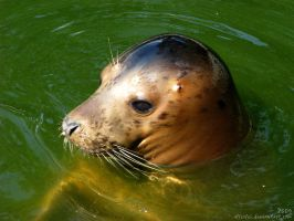 Seal baby in the water by Allerlei
