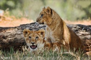 lion cubs by Yair-Leibovich