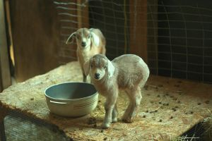 Two Baby Goats by Hafunui