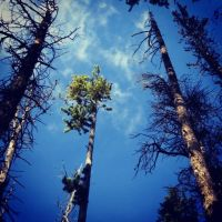 Pine Trees in Yellowstone by Mango8211
