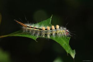 Tussock Moth Caterpillar by natureguy