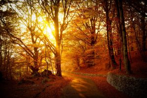 Warm autumn light through golden trees by wildfox76