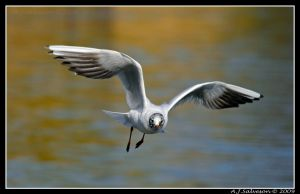 'y' Gull by andy-j-s