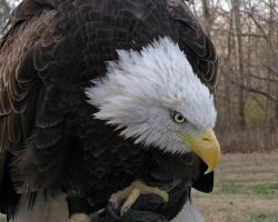 My Name is Bald Eagle by Miskwaadesi