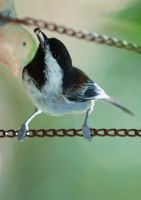 Black-Capped Chickadee by photoquilter