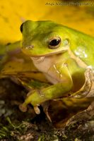 American green tree frog by AngiWallace