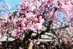 Cherry blossom wallpaper by one1-seven7