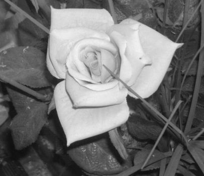 Black and White Rose by SquAreWorD