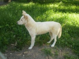 White Dingo III by Twister4evaSTOCK