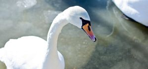 Swan by aMyrup