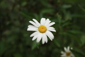 Waterdrops on a Daisy by ElevenSpecial