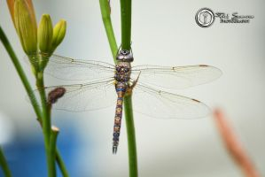 Dragonfly #2 by SilentMobster42