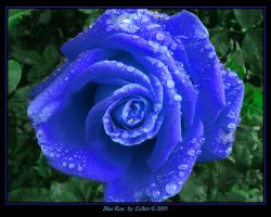 Blue Rose 2304 by Eolhin