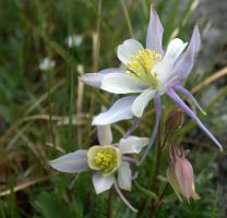 Columbine At 12,000 Ft. by PamplemousseCeil