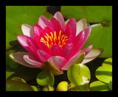 Moms Waterlilly by swashbuckler