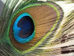 Peacock Feather by NalaAbmis