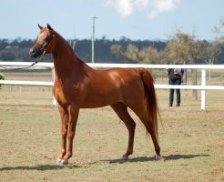 GE arab chestnut show pose side by Chunga-Stock