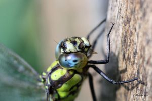 Dragonfly 2 by Prototyps