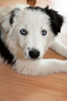 Ice the border collie by Takadk