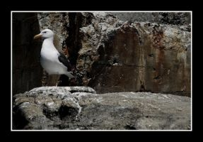 Seagull on some rocks by JordanWalker