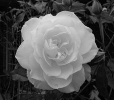 Black and White Rose 052012 by Amazinadrielle
