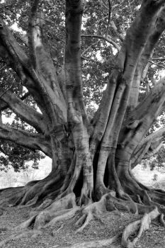 Moreton Bay Fig Tree by vickychica