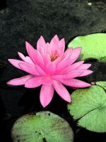 Water Lily Edits by hilldren