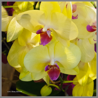 Yellow Orchids Blooming by Mogrianne