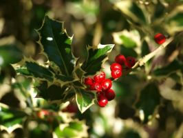 Holly 05 by botanystock