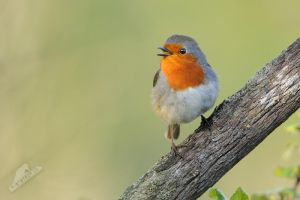 Singer (European Robin) by MartinPel