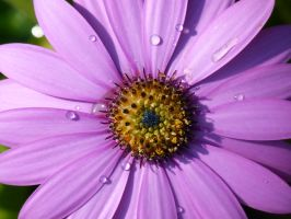 Water Droplets On A Flower by JonathanFry