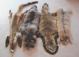 Uncommon Pelts by reckIess