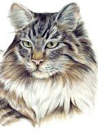 Maine Coon Portrait by bigcatdesigns