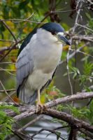 Black-crowned Night Heron by invisiblelife