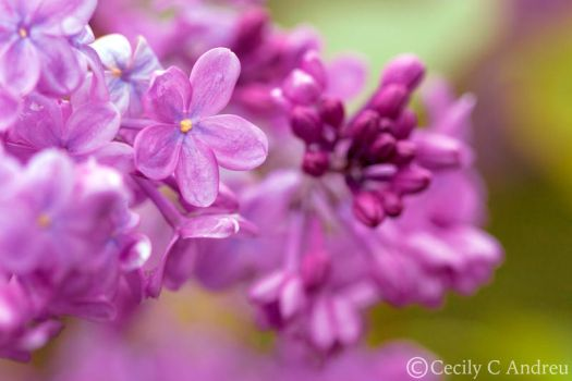 Lilac In Full Bloom by CecilyAndreuArtwork