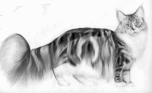 Maine Coon - Classic Silver Tabby by Fullmetal-puppy
