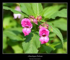 Himalayan Balsam by mad1dave