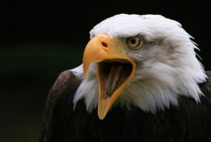 American Bald Eagle by steing