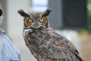 Great Horned Owl - 2 by Seductive-Stock