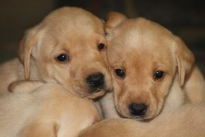 Labrador Puppies! by Treekami