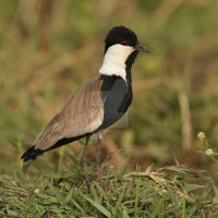 Top hat and tails - Spur-winged Plover by Jamie-MacArthur