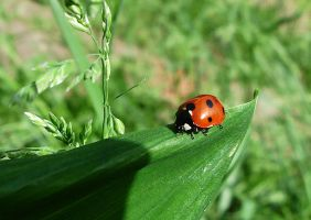 Coccinellidae by denisogloblin