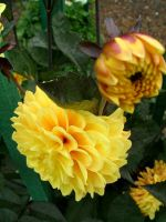 .stock: dahlias in yellow. by guavon-stock