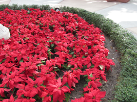 A Bed pf Poinsettias by WDWParksGal-Stock