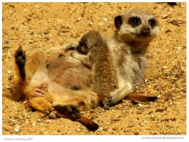 Nursing Meerkat by In-the-picture