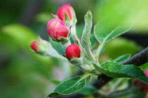 Apple bud by geory
