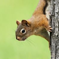 Red Squirrel- Peeking by JestePhotography